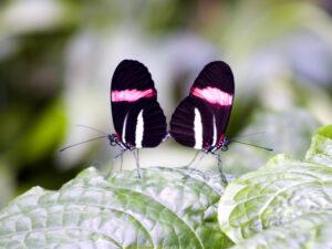 Vlinder paar